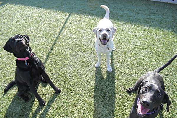 Three dogs in the yard