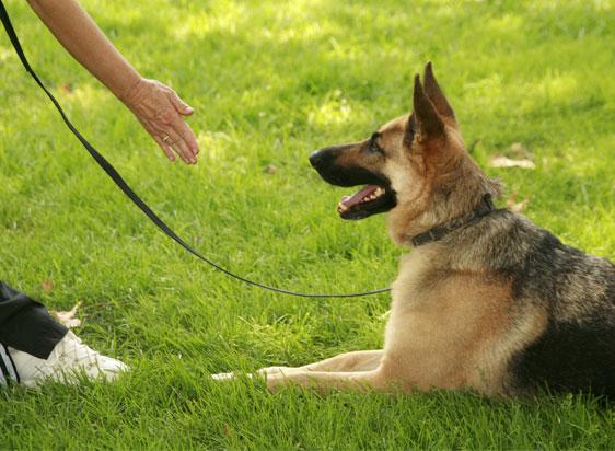 German Shepherd training to lay down